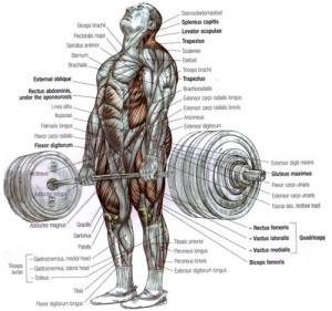 deadlift-muscle-activation