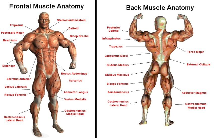 frontal-and-back-muscle-anatomy